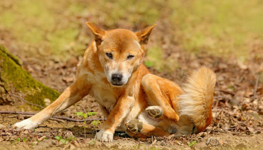 I cani canori della Nuova Guinea non sono estinti