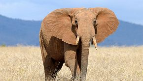Kaavan, l'elefante più solo del mondo lascerà lo zoo di Islamabad