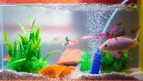 Pesci rossi come centrotavola: le proteste degli animalisti