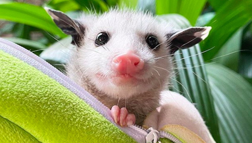 Un opossum come animale domestico: la storia di Sesame