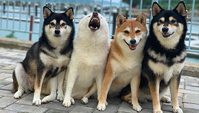 Hina, il cane che 'rovina' le foto di gruppo