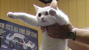 Addio a Nobiko, il gatto 'lungo' diventato celebre sul web