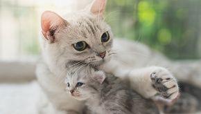 Negli Stati Uniti una gatta ha allattato quattro maialini orfani