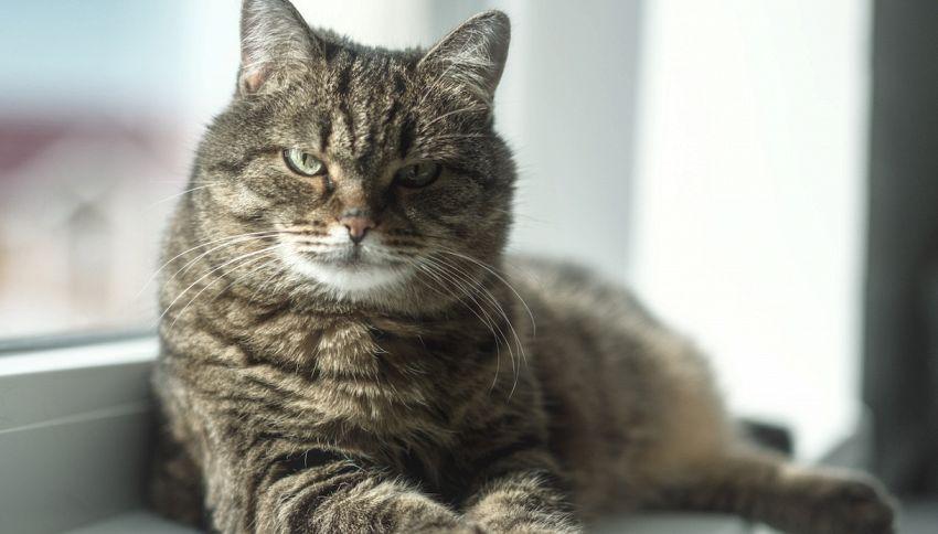 Geremia, il gatto 'centenario' di Seregno
