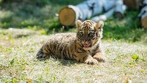 Compra un gatto online, ma scopre che è una tigre di Sumatra