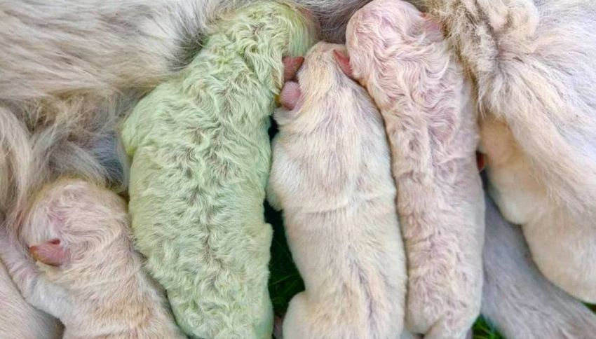 Pistacchio, il cucciolo di labrador completamente verde