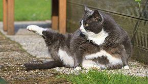 Xiao Hu, il gatto che si allena in palestra (o forse no)