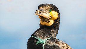Uccelli fanno i nidi con i rifiuti di plastica: allarme dal Cile