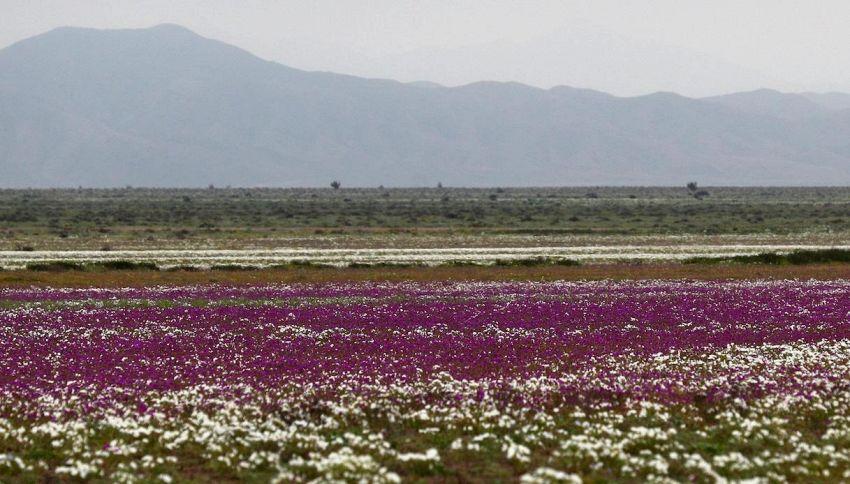 Il deserto di Atacama coperto di fiori: non succedeva da tre anni