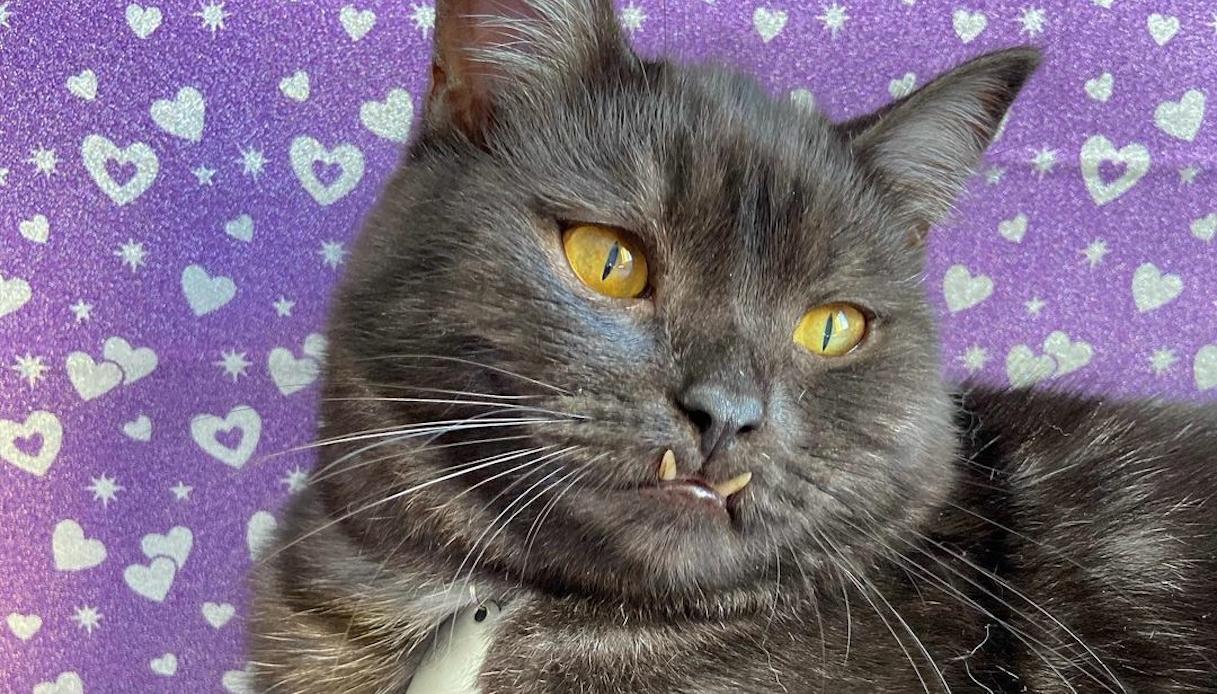 Griu, il 'gatto vampiro' star del web, trova casa