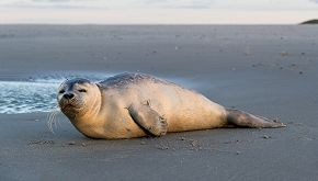 Si imbatte in una foca e la salva mentre fa running