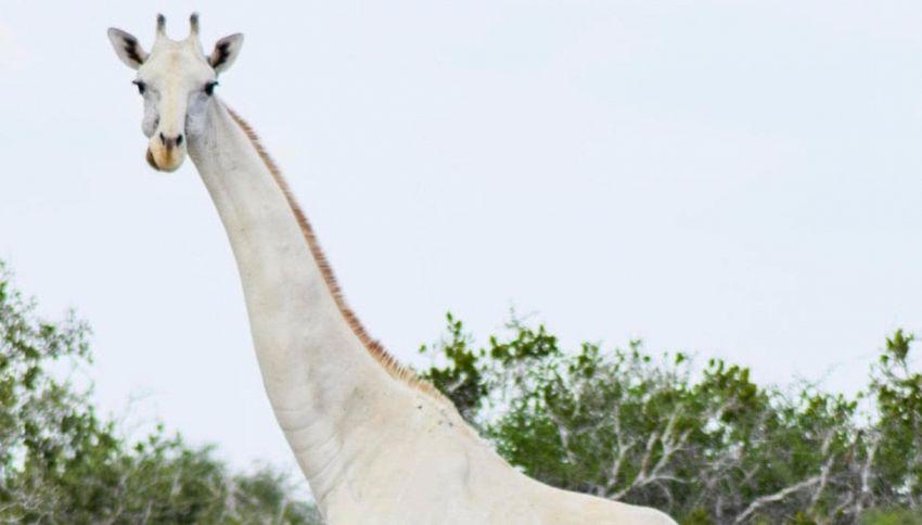 Nel mondo esiste un solo esemplare di giraffa bianca