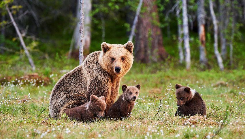 Sei cucciolate di orsi bruni: è boom di nascite sui Pirenei