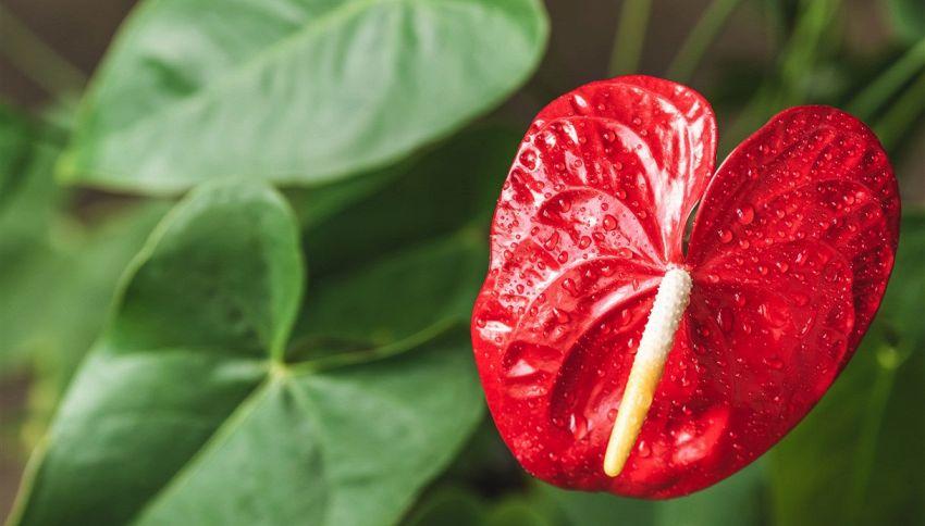Anthurium, dovresti sempre avere questa pianta in casa