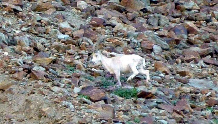 Avvistato uno raro stambecco bianco in Val di Susa