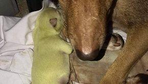 Wasabi, il cucciolo dal pelo verde nato nelle Filippine