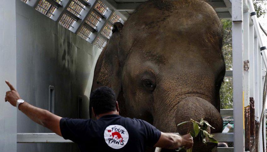 Kaavan, l'elefante più solitario al mondo, non è più solo