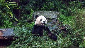 Xinxing, è morto a 38 anni il panda gigante più vecchio al mondo