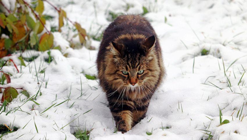 Kesha è l'unico gatto delle isole Svalbard in Norvegia