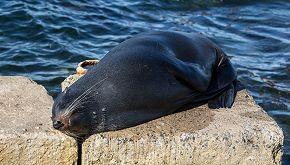 Una foca grigia ha partorito dieci cuccioli neri