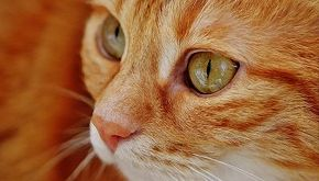 La storia di Leo, il gatto rosso che resterà sempre cucciolo