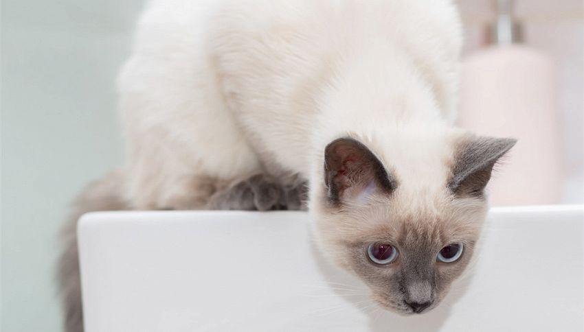 Perché il gatto ama stare nel lavandino?