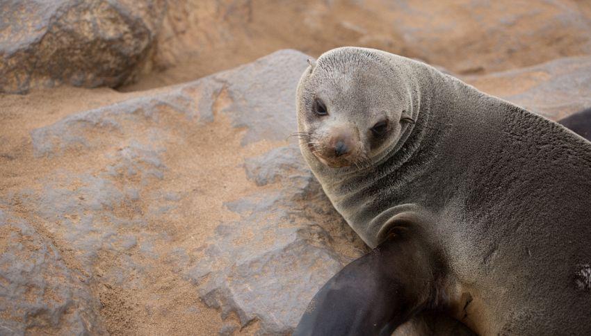 In Nuova Zelanda chiudono la strada per salvare due leoni marini