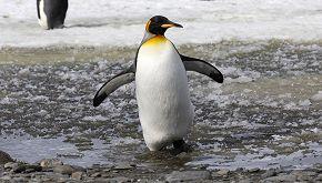 Incontro speciale per un fotografo: ecco il pinguino giallo