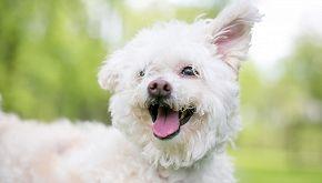 Glicy, il cane diplomato al fianco di un bimbo malato