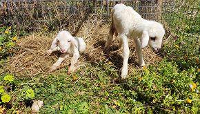 Oipa per la salvaguardia degli agnelli dalle tavole di Pasqua