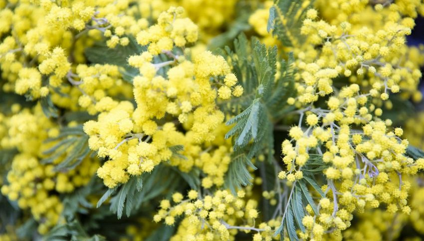 La mimosa e la primavera: l'errore che in molti commettono