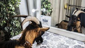 Chi è Olda, il caprone di Italia's Got Talent 'in missione'