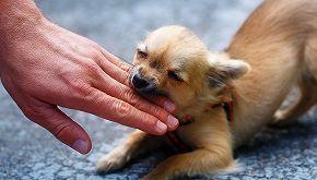 Prancer, il Chihuahua che detesta tutti ma ama le donne