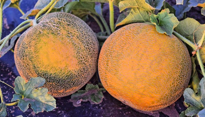 Questi meloni vengono coltivati con la musica e con massaggi