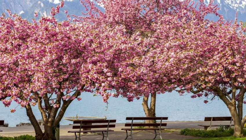 Il raro albero che produce fiori di colori diversi