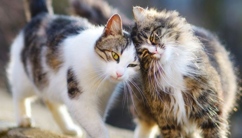 Gatti: cinque rarissime razze che forse non conoscete