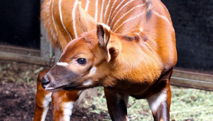 Un cucciolo di bongo allo zoo di Opole: la specie è a rischio
