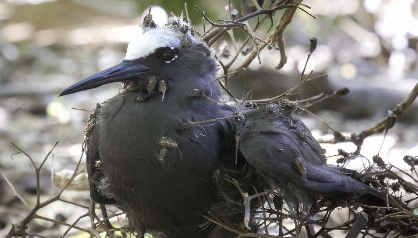 Pisonia, l'albero che uccide gli uccelli