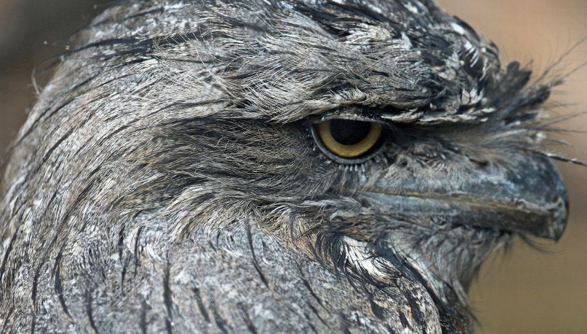"""ll podargo, l'uccello più """"instagrammabile"""" per la scienza"""