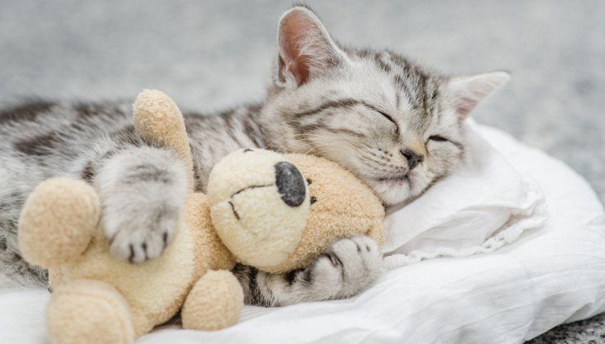 La storia del gatto che non si separa mai dal suo peluche