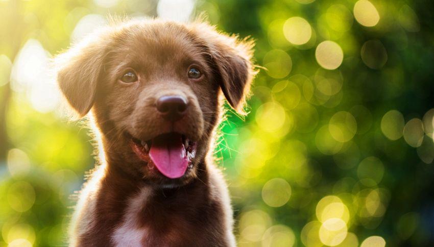 I cani comunicano sin da cuccioli con l'uomo: lo studio