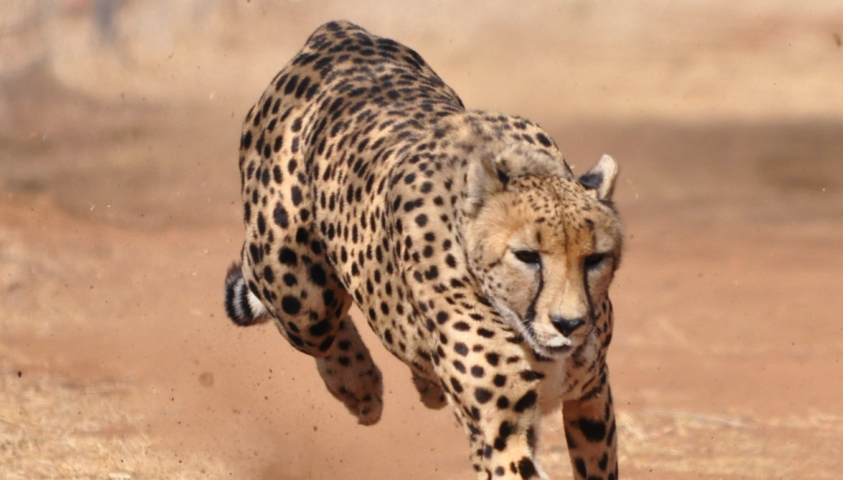 Torna in India un ghepardo estinto 70 anni fa