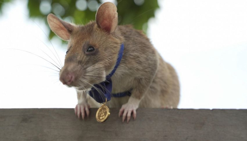 La storia di Magawa, il ratto che scovava mine in Cambogia