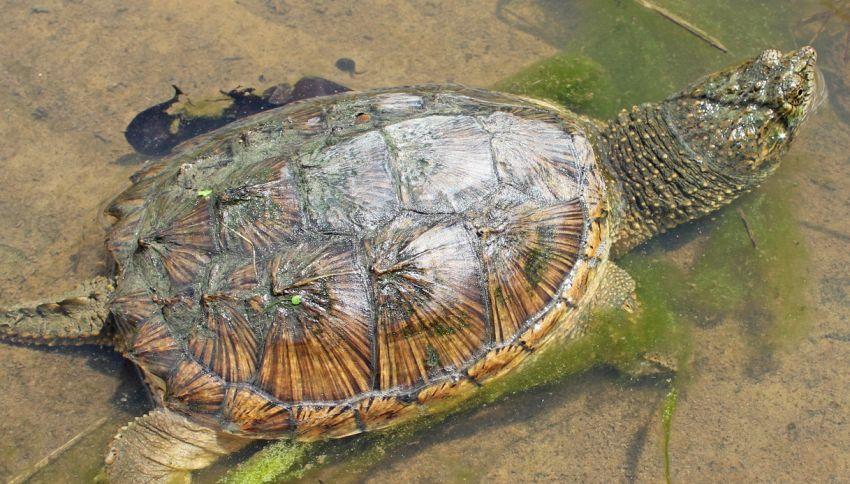 Una tartaruga azzannatrice nel torinese: perché è pericolosa?