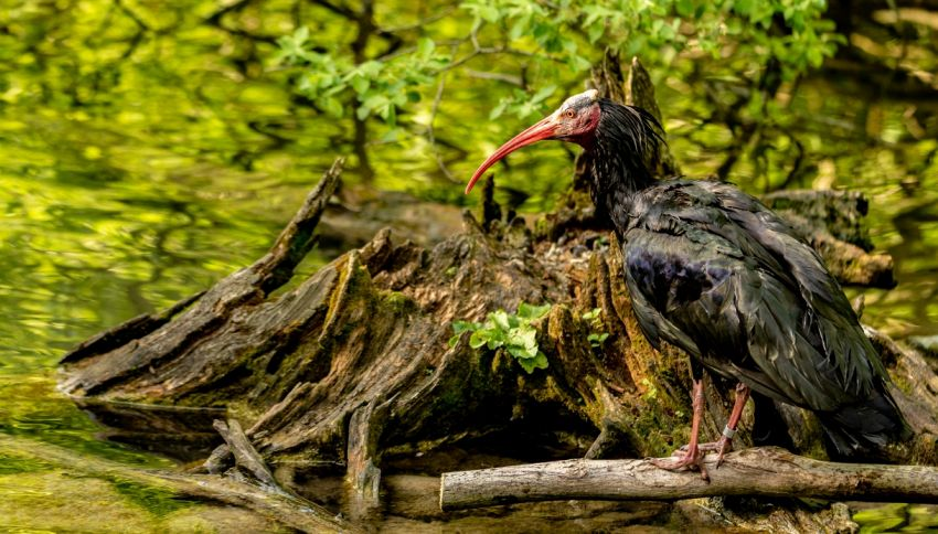 L'ibis eremita che ha volato per 970 km tra Italia e Svizzera