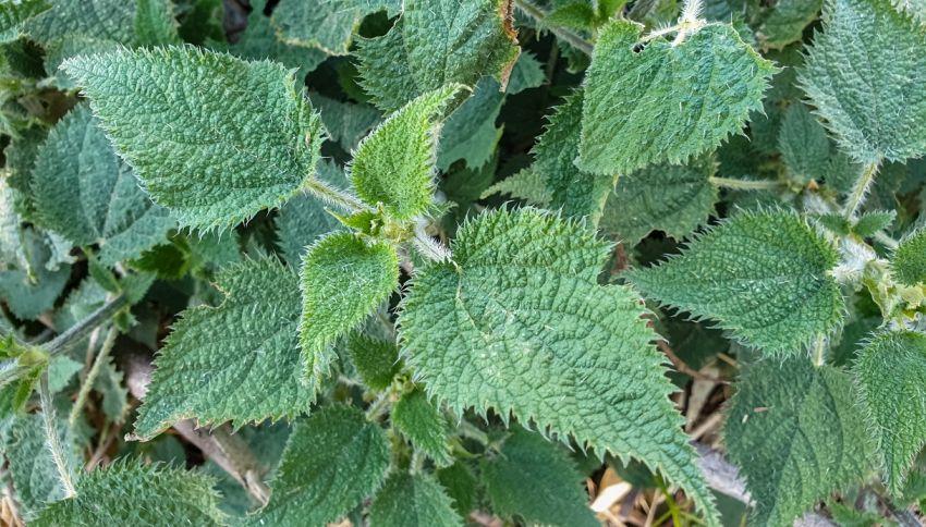Questa pianta può provocare dolore per mesi