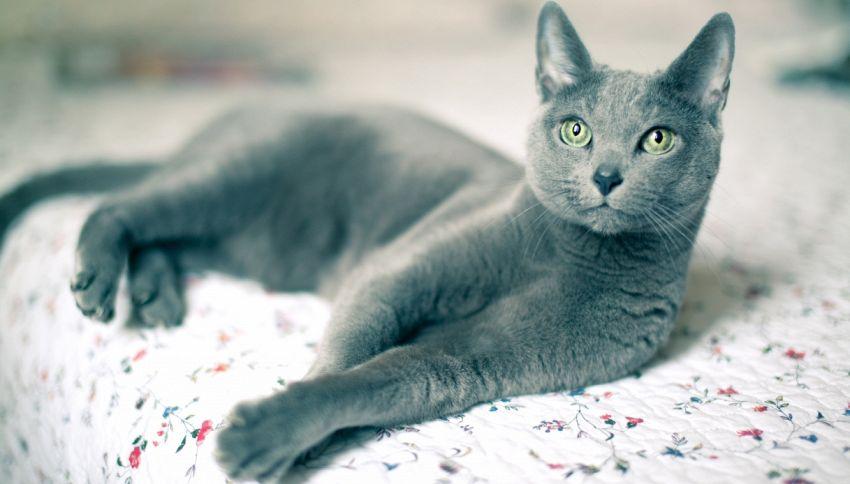 Smurf, la storia del gatto blu