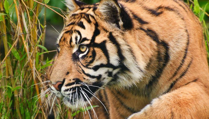 Bengali è la tigre più anziana in cattività