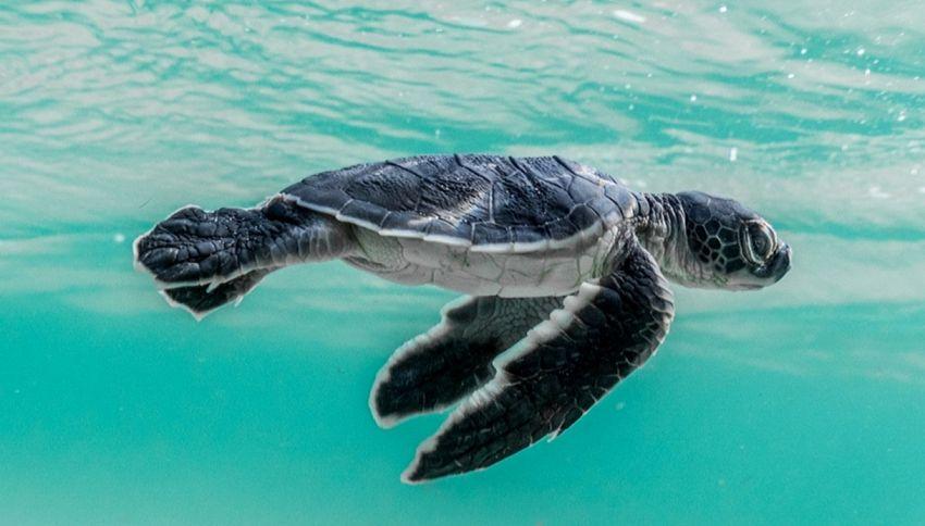 Diecimila baby tartarughe marine: è boom di nascite in Italia