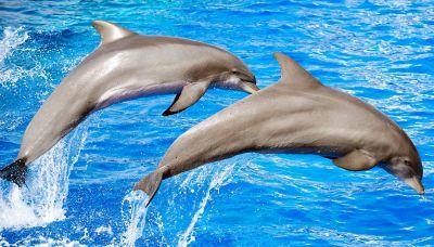 L'incredibile gesto dei delfini che lascia a bocca aperta